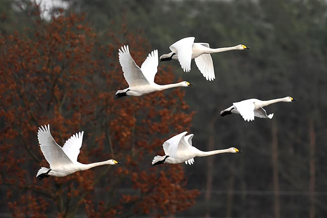 Tundra Swan - photos, Cygnus columbianus