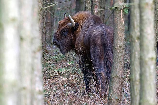 Wisent - photos, Merops apiaster