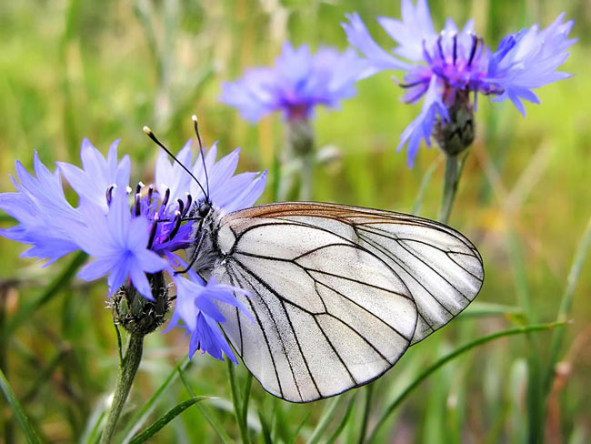 Black-veined White - photos, Aporia crataegi