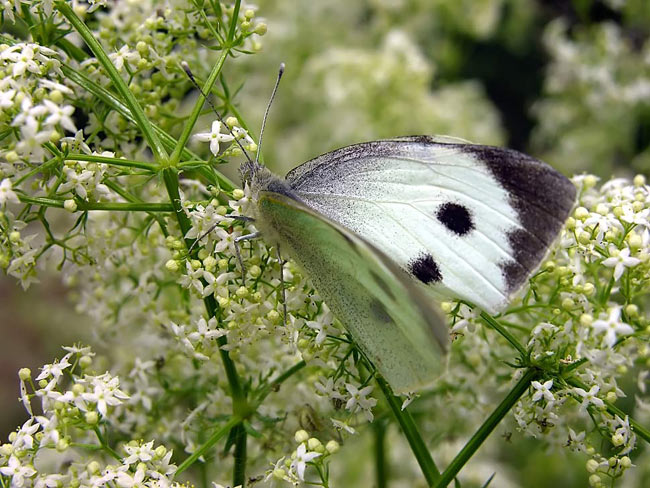 Large White - photography