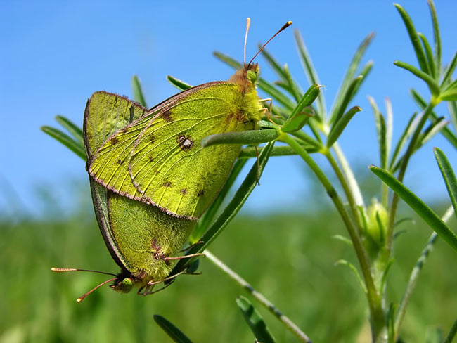 Pale Clouded Yellow - photos