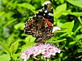 Red Admiral - photo stock