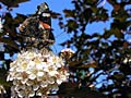 pictures - Red Admiral