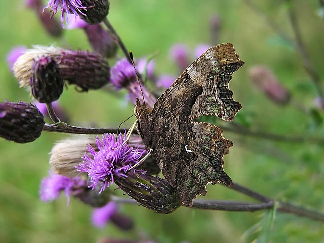 Comma - nature photography