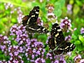 Map butterfly - image gallery