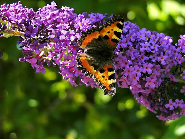 Small Tortoiseshell - photos, Aglais urticae