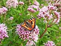 Small Tortoiseshell  - pictures