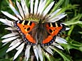 Small Tortoiseshell - photo stock
