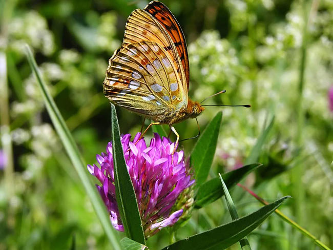 High Brown Fritillary - photos, Argynnis adippe