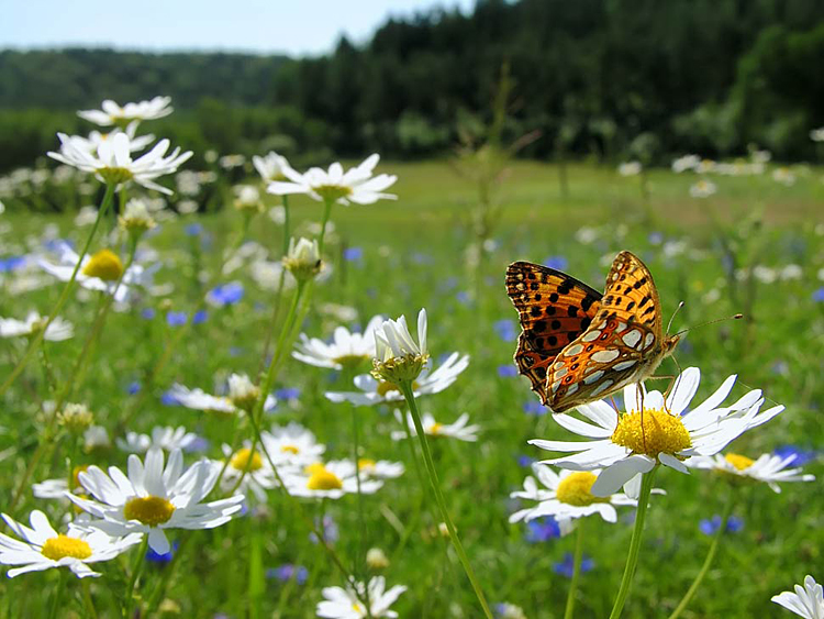 Queen of Spain Fritillary - nature photography