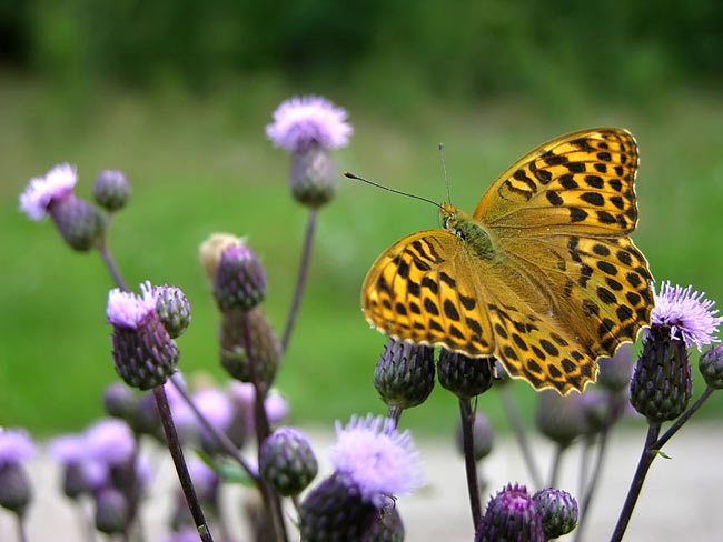 Silver-washed Fritillary - photos, Argynnis adippe