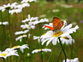 Scarce Copper - photography