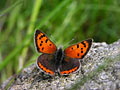Small Copper  - pictures