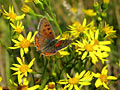 Small Copper - nature photography