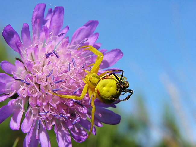 goldenrod crab spider - photos, Misumena vatia