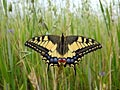 Swallowtail - nature photography