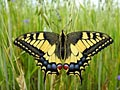 Swallowtail - photo gallery