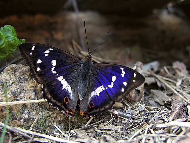 Purple Emperor - photos, Apatura iris