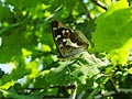 Purple Emperor  - pictures