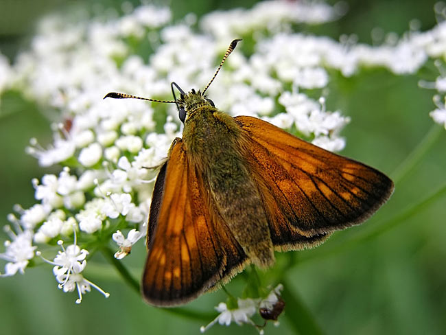 Large Skipper - photos,  Hesperia comma