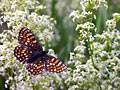False Heath Fritillary - photos, Melitaea diamina