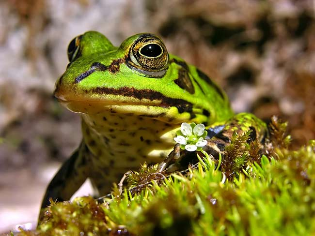 Pool Frog - photos, Rana lessonae