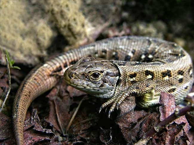 Sand Lizard - photos