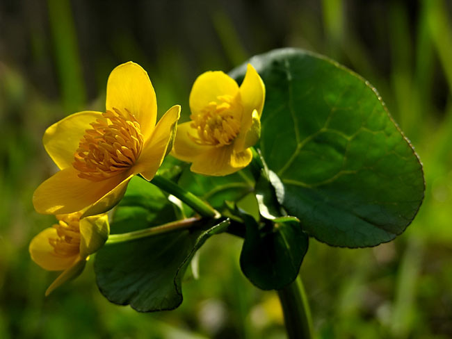 Populage des marais - photos, Caltha palustris