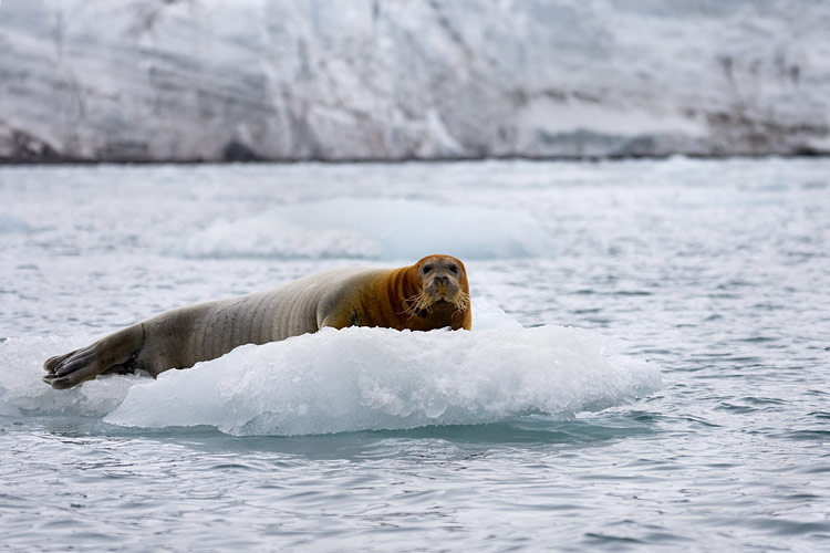 Bearded seal  - pictures