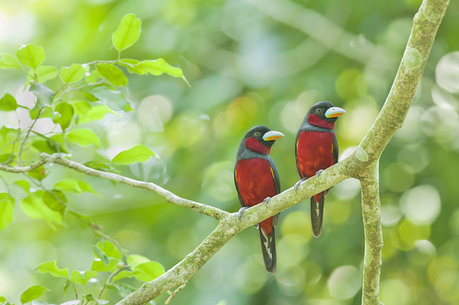 Black-and-red Broadbill - photos, Cymbirhynchus macrorhynchos