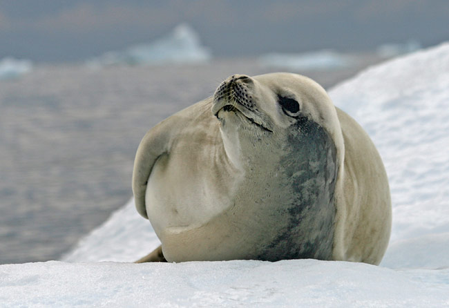 Crabeater seal  - pictures