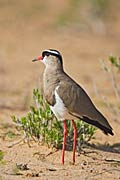Crowned Lapwing - photos, Vanellus coronatus