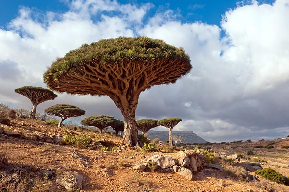 Dragon tree - photos, Dracaena draco