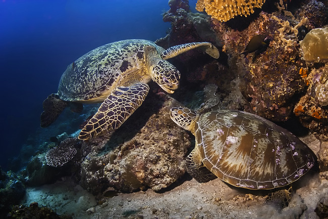 Green turtle  - pictures