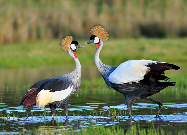Grey Crowned Crane - nature photography