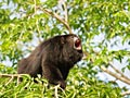 Brown howler - photos, Alouatta guariba