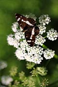 images - White Admiral