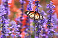 Leopard Lacewing - photo gallery