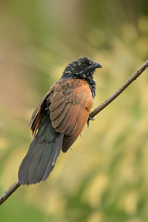 Lesser Coucal - photos, Centropus toulou