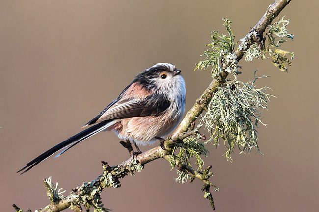 Long-tailed Tit  - pictures