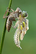 Four-spotted Chaser - photos, Libellula quadrimaculata