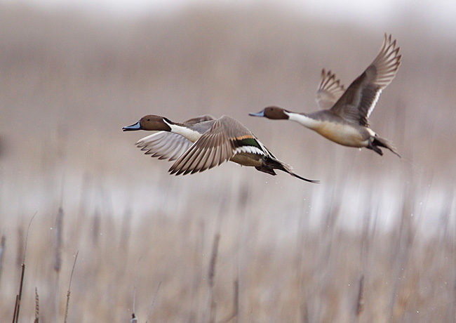 Northern Pintail - nature photography