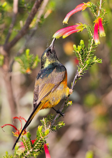 Orange-breasted Sunbird - photos, Anthobaphes violacea