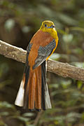 Orange-breasted Trogon - photos, Harpactes oreskios