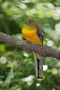 Trogon à poitrine jaune - photographies