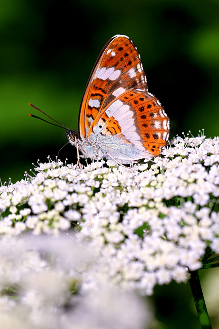 White Admiral - image gallery