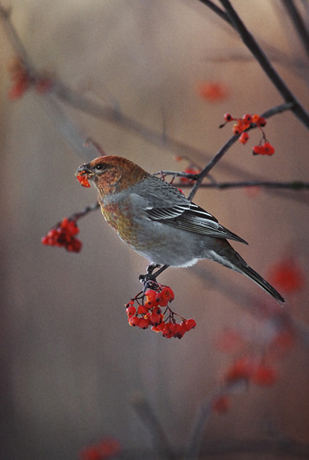 Photos - Pine Grosbeak