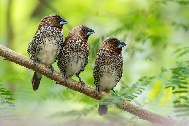 Photos - Scaly-breasted Munia
