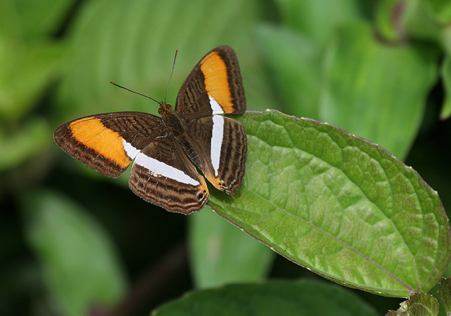 California Sister - photos, Adelpha californica