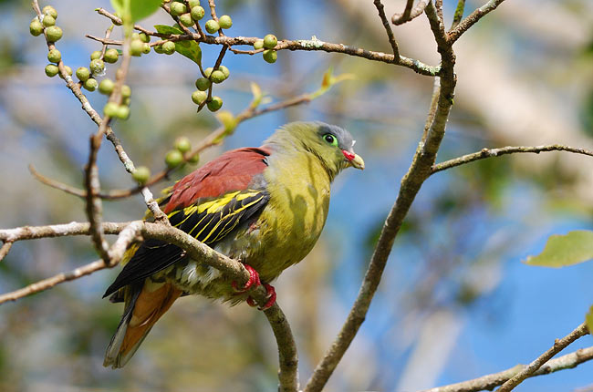 Thick-billed Green-Pigeon - photos, Treron curvirostra